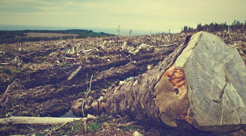 powalone drzewo na tle wycinki