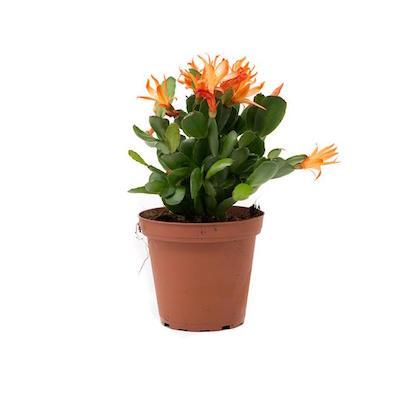 kaktus wielkanocny z pomarańczowymi kwiatami w doniczce